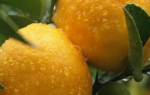Можно ли пересаживать лимон осенью