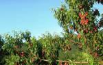 Как посадить персиковое дерево