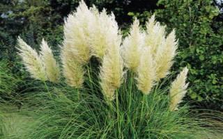 Пампасская трава посадка и уход