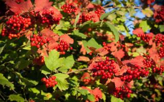 Пересадка калины осенью