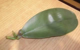 Реанимация орхидеи без корней