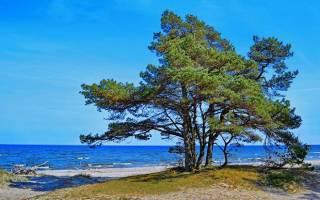 Почему нельзя садить хвойные деревья возле дома
