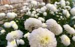 Белые бархатцы: описание сортов и правила выращивания
