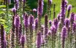 Лиатрис колосковый: описание сортов, посадка и уход