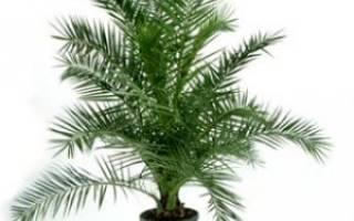 Как правильно вырастить финиковую пальму из косточки