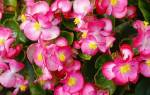 Бегония садовая: описание, виды и секреты успешного выращивания