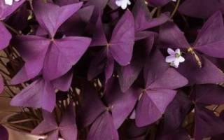 Оксалис цветок любви