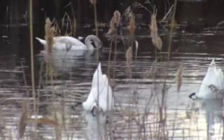 Что едят лебеди в природе