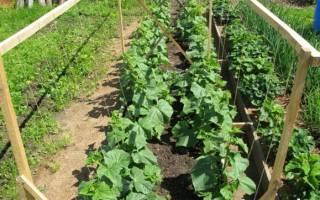 Как правильно вырастить огурцы в открытом грунте
