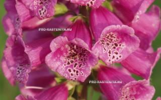 Наперстянка пурпурная: описание сортов и секреты выращивания