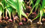 Чем обработать луковицы гладиолусов перед хранением