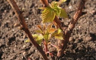Пересадка малины весной в каком месяце