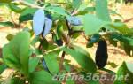 Жимолость посадка и уход в открытом грунте
