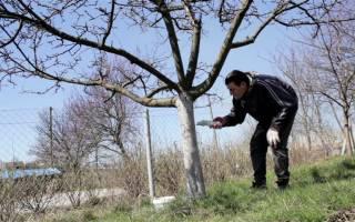 Приготовление побелки для садовых деревьев