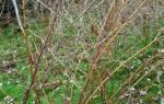 Обрезка малины осенью для начинающих