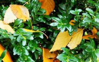 Пересадка самшита осенью