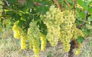 Прививка винограда прививочным секатором весной
