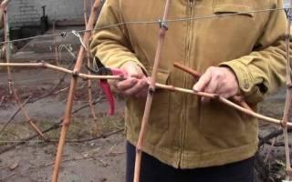Как сохранить саженец винограда до посадки