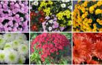 Как ухаживать за хризантемой в саду