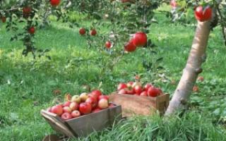 Когда лучше сажать яблони весной или осенью