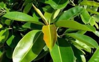 Фикус каучуконосный: особенности, сорта и правила выращивания