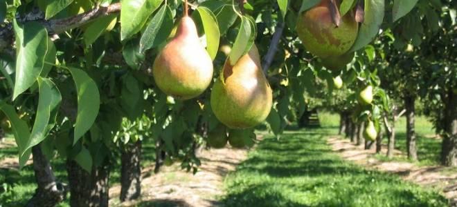 Как сажать грушу осенью