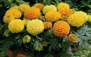 Бархатцы лимонные: разновидности и их особенности выращивания