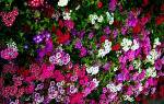 Флоксы на клумбе с другими цветами
