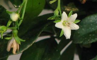 Рекомендации по выращиванию бонсая из кармоны