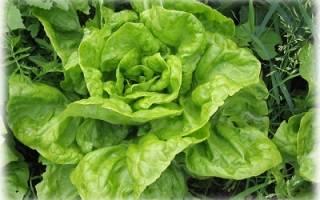 Выращивание салата в теплице зимой на продажу