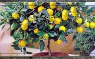 Цветок лимонник как ухаживать