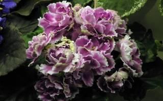 Фиалка «Ледяная роза»: особенности сорта