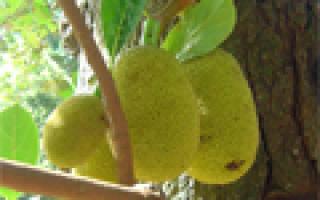 Хлебное дерево интересные факты