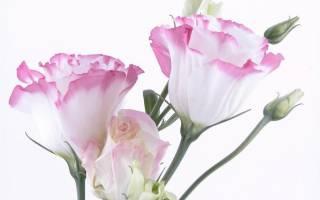 Цветы эустома выращивание из корней