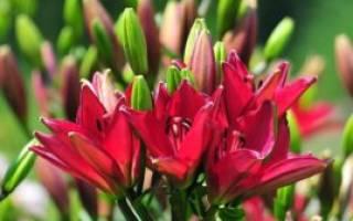 Комнатное растение похожее на лилию
