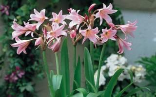 Цветок с луковицей и длинными тонкими листьями