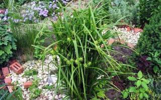 Декоративная осока для сада