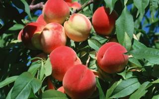 Обрезка персика весной схема