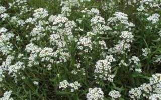 Цветы однолетки неприхотливые без рассады