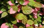 Посадка актинидии осенью