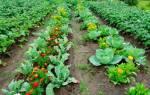 Что можно садить после капусты