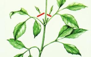 Что значит прищипывать растение