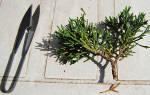 Размножение можжевельника черенками весной
