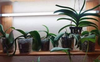 Почему не цветет орхидея в домашних условиях и что с этим делать?