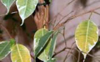 Что делать, если у фикуса опадают листья?