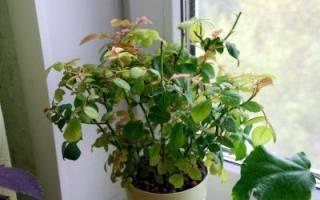 Комнатная роза сбрасывает листья что делать