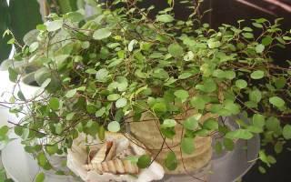 Мюленбекия: описание, виды и выращивание