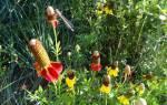 Мексиканская шляпа цветок