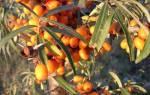Размножение облепихи черенками осенью