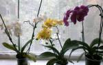 Орхидея фаленопсис: особенности и уход в домашних условиях
